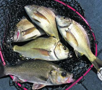 Plenty of bream spread through the system for both bait and lure fishers.