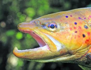 There are some very impressive trout in Victoria's Rivers, streams and creeks, all it takes is time to seek them out.