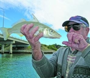 The author's father, Don, with a nice whiting taken among the schools of blackfish under the Bermagui bridge.