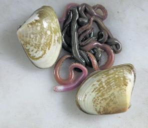 Pipis and sea worms are out on their own for most beach species.