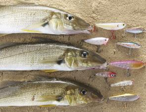 This nice bag of whiting was taken from the mouth of Narrabeen Lake on surface lures.