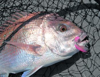Quality snapper will still be around during September but their numbers will taper off as water temperatures rise.