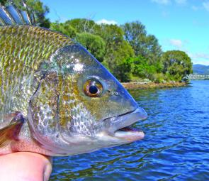Good-sized bream have invaded the shorelines.