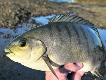 Rock fishing for luderick should be good this month, but if they are hard to find, bream, drummer or trevally are worth considering.