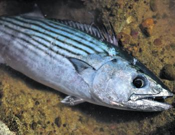 Bonito were in good numbers through the autumn months, and a few may still be within casting range from the rocks over the coming weeks. Once the water cools off, these speedy pelagics will move further offshore.