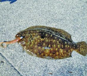 Tasty flounder are welcome by-catch when targeting flathead.