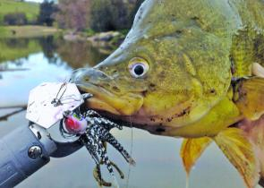 Slowly-worked lures in deep water have accounted for golden perch in Canberra's urban lakes, and in Burrinjuck and Wyangala.