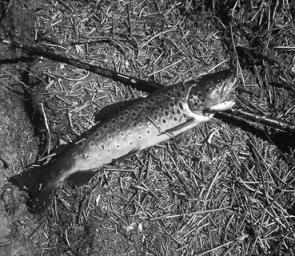 A small brown trout, typical of McKenzie River fish.