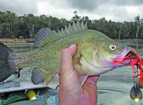 Murray River golden perch have been loving black and red spinnerbaits.
