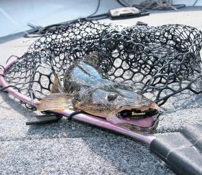 Most of the time I use soft plastics and blades when targeting dusky flathead, but I always bring hardbodies as a backup option.