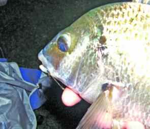 A typical late Winter bream. These are taking worms and prawns from the beaches after dark and are well worth the trip.