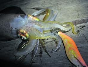 This squid season is shaping up to be a cracker, with good size squid being caught at many local spots.