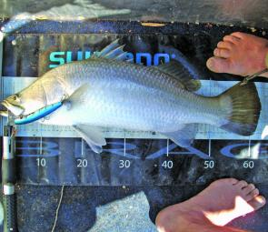 Barramundi are the prime target for any creek angler.