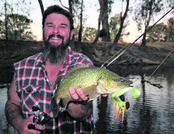 A small Murray cod caught by the author last season on a Bassman Spinnerbait in the Wangaratta area.