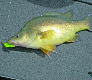 A nice golden from St Clair caught casting the author's favourite-colour Stuckey minnow – yellow with green dots.