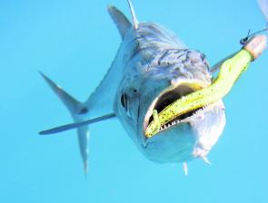 Spanish mackerel mean business, check out those teeth!