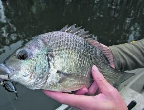 Upstream in some of the smaller coastal creeks you can target both bream and bass on cicada lures.