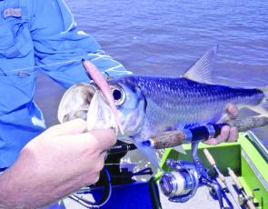 Tarpon are a great sport fishing target in many of the local rivers over summer.