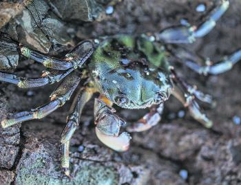 Green crabs are far more plentiful and easier to catch than the red crabs that live in the lower part of the intertidal zone.