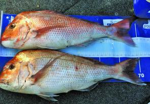 Good-sized snapper are always the aim for many anglers – the only thing better than one big snapper is two!