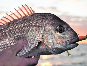 Recent heavy rain has lifted the fishing across the inner western reefs to another level with pinkie snapper providing some hot action in close for those pitching soft plastics on the drift.