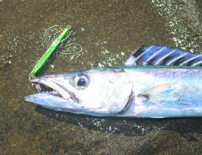 Barracouta have been caught from the rock platforms near Lorne.