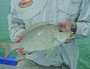 "A spangled emperor from the southern bay taken on a 4"" shad in baby bass; when the whole snapper on shads deal kicked off 4"" shad lures were as big as most anglers went. Gradually it was then up to the 5"", then 6"" and 7""…last season anglers used up to 18"""