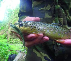 "Gulp 2.5"" Minnows in emerald shiner colour are deadly in the murky waters of Strzelecki streams after rain."