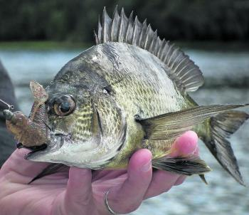 A nice bream caught on a very lightly weighted jighead.