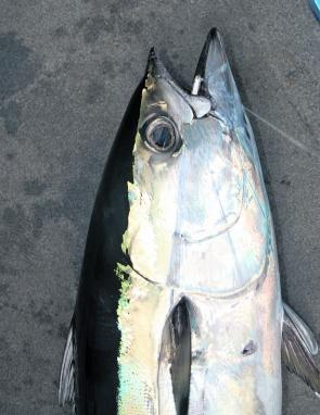 Longtail tuna numbers will increase throughout April.