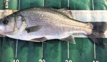 Estuary perch in the 45cm+ range are a common capture on lures.