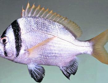 Here's an example of an international bream. A lovely little two-bar bream, commonly found in the Persian Gulf, the Red Sea and along the north eastern coast of Africa