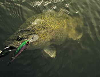 This Murray cod was caught casting on a Custom Crafted Mega Minnow.