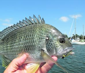 Yellowfin bream are schooled up under moored boats. Using small light weighted plastics works well.