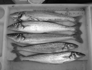 The whiting fishing has been tough. Most people have barely managed to catch even a quarter of their bag limit.