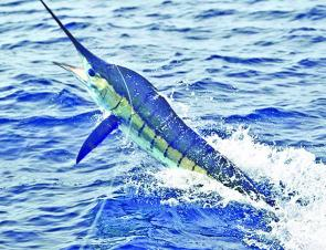One of the first striped marlin of the season comes alongside. Pic: Andy Legge