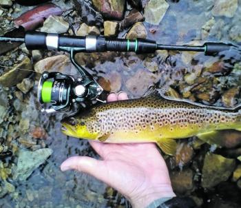 The author caught this skinny water brown trout.