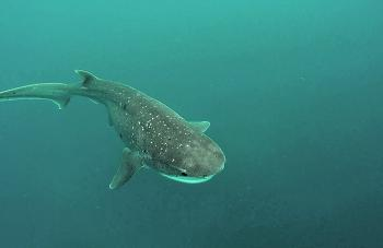 The sevengill shark is one of many critters that will investigate berley trails.