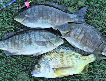 Bream and luderick are very reliable rock fishing targets at this time of year. Present baits close in under some foamy water on a rising tide, but always remember that safety comes first when rock fishing.