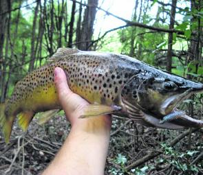 There'll be some nice trout moving upstream this month. The author with a healthy hard-fighting pre-spawn trout caught and released last season.