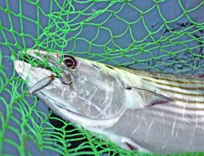 Bonito are popular sport fish and can be caught from Tathra Wharf.