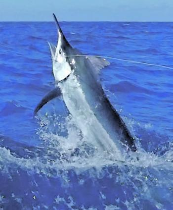 Port Douglas Marlin Challenge saw three black marlin estimated over 1000lb.