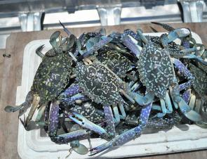 There has been a good run of blue swimmer crabs in Wallaga Lake this season.