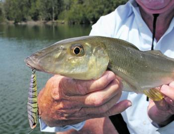 Whiting, summer and surface lures – it just works!