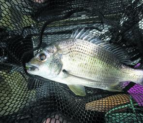 A solid bream in the net. Thank you 'Plan B'.
