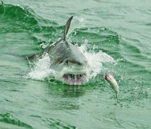 A great white shark gets fired up to attack a surface bait. Are there more sharks around because there is more feed for them. Photo: George Trinkler