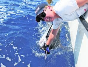 Kim swims a marlin beside the boat, readying it for release. Marlin are prime candidates for teasers.