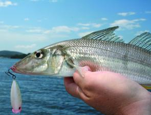 Sand whiting are eager to attack small surface lures. This one took a liking to a Stiffy Popper.