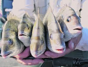 These lovely bream were caught deep along the Coal Walls on deep-diving crankbaits.