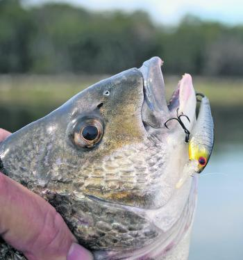 Treble hooks on lures need wickedly sharp hook points in order to regularly find their mark… Check your hooks often!